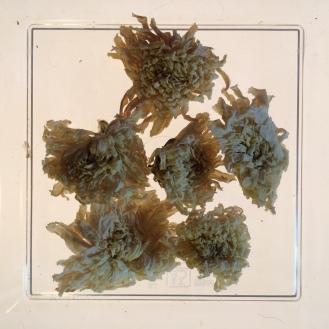 Chrysanthemum - dry