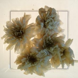 Chrysanthemum - wet